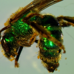 Metallic Green Bee