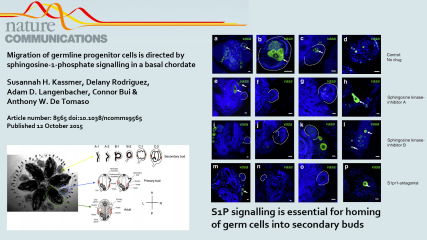 Migration of germline progenitor cells is directed by sphingosine-1-phosphate signalling in a basal chordate